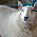 rhinebeck-sheep thumbnail